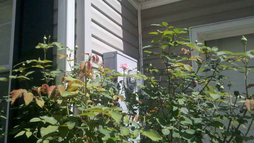 Another Hatchett Job, springtime, roses